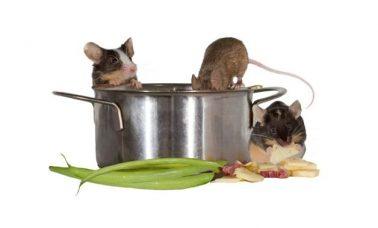 Mengusir tikus yang ada di dapur
