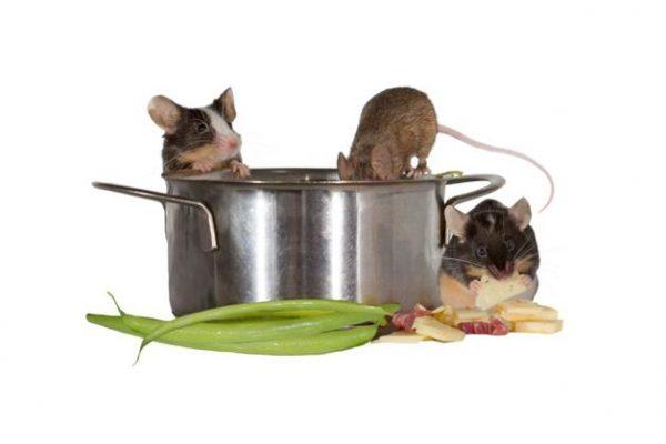 Tips Agar Dapur Terbebas Dari Tikus
